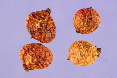 Seeds-of-Mastic-gum-tree