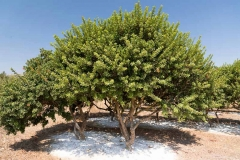 Mastic-gum-tree