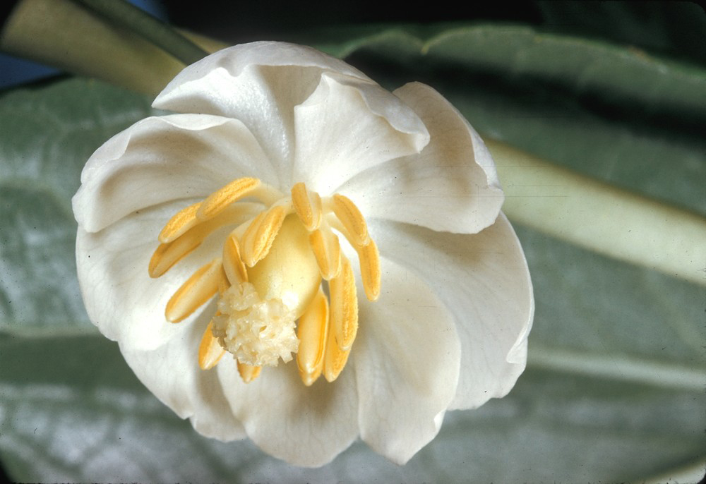 Flower-of-Mayapple