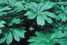 Leaves-of-Mayapple