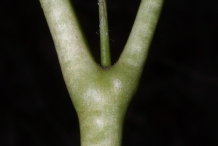 Stem-of-May-apple