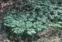 Mayapple-Plant-growing-wild