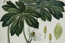 Plant-Illustration-of-May-apple