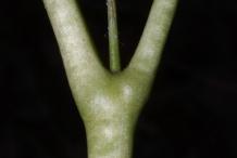 Stem-of-May-apple