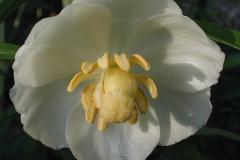 Closer-view-of-Flower.-of-Mayapple