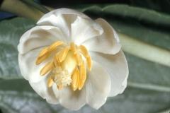 Flower-of-Mayapple