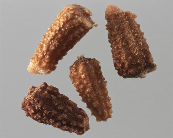 Achenes-of-Mayweed-Chamomile