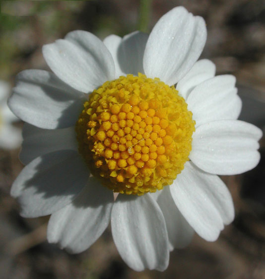Closer-view-of-flower-of-Mayweed-Chamomile
