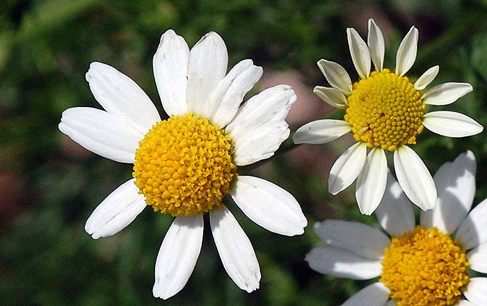 Flowers-of-Mayweed-Chamomile