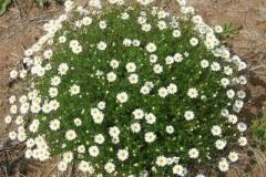 Mayweed-Chamomile-plant