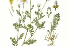 Plant-illustration-of-Mayweed-Chamomile