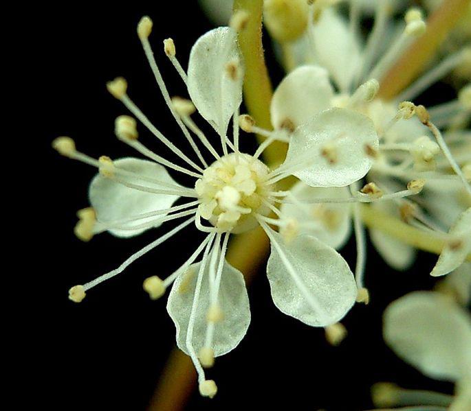 Close-up-flower-of-Meadowsweet