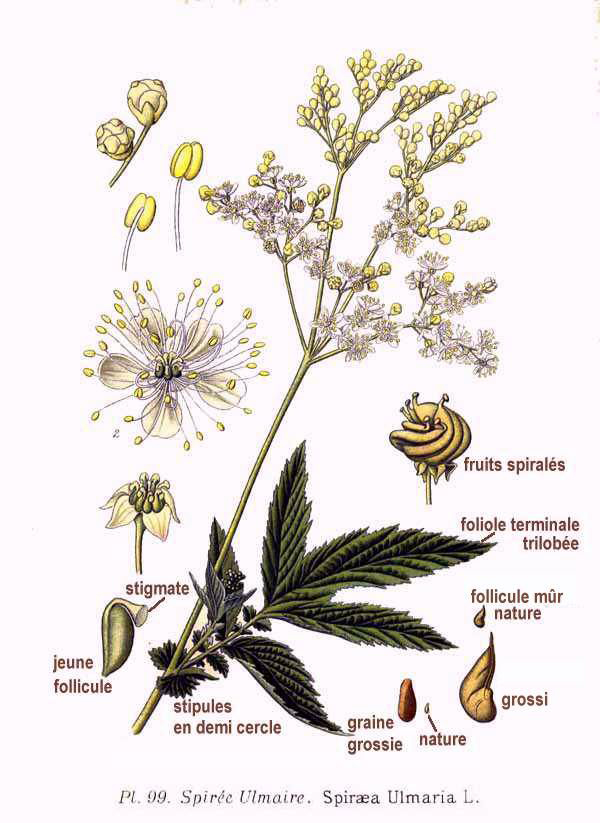 Illustration-of-Meadowsweet