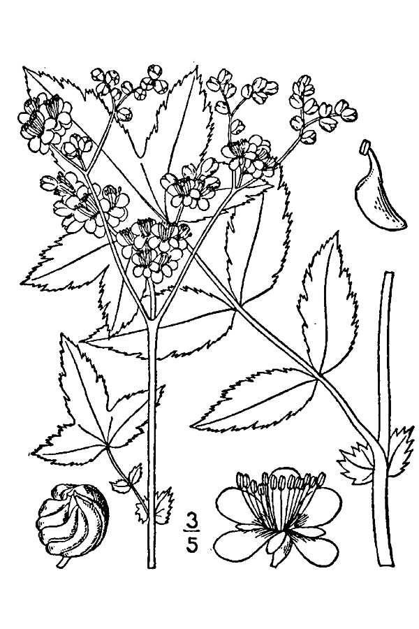 Meadowsweet-drawing