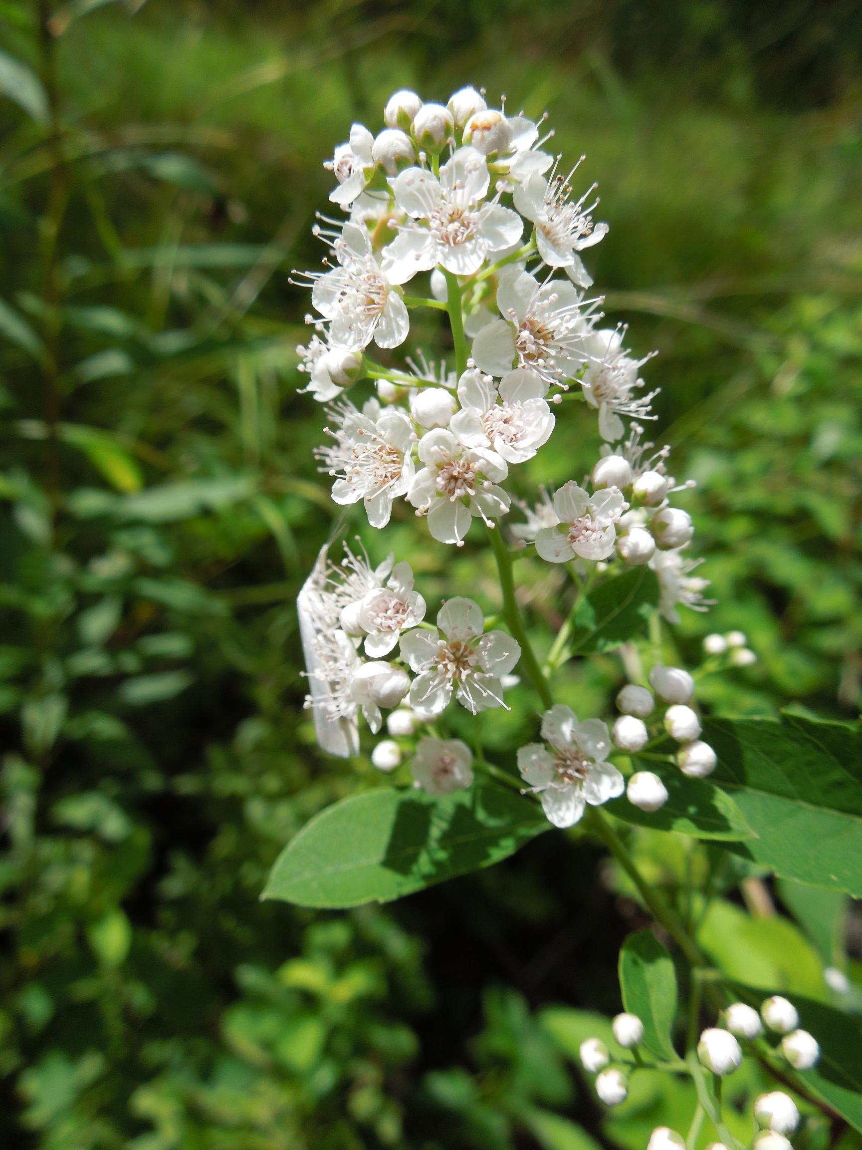 Meadowsweet-flower