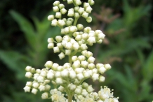 Meadowsweet-flower-buds