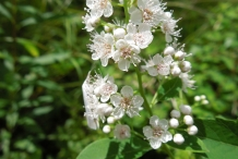 Meadowsweet-flower