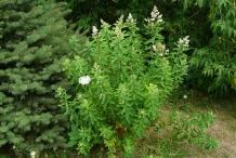 Meadowsweet-plant