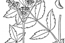 Meadowsweet-drawing