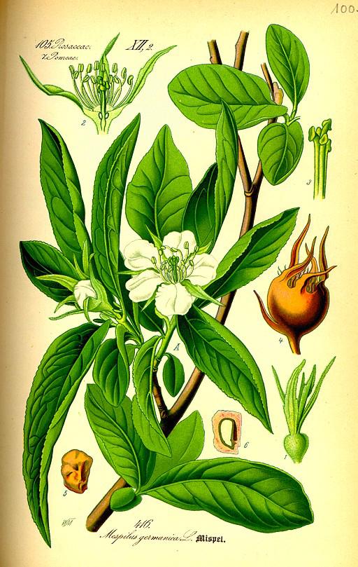 Medlar-plant-illustration