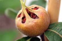 Medlar-fruit