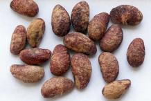 Medlar-seeds