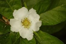 Medlar-flower