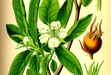 Medlar-plant-illustration