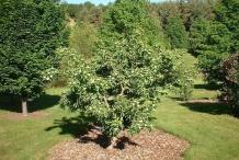 Medlar-tree