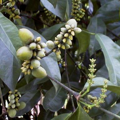 Melinjo-fruit-unripened