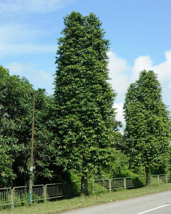 Melinjo-tree