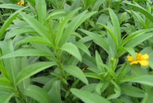 Leaves-of-Mexican-marigold