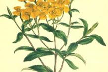 Sketch-of-Mexican-marigold