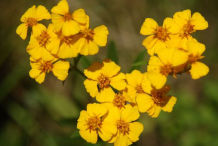Flower-of-Mexican-marigold