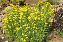 Mexican-marigold-Plant