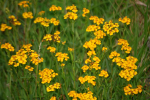Mexican-marigold-plant-growing-wild