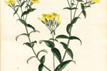 Plant-Illustrations-of-Mexican-marigold