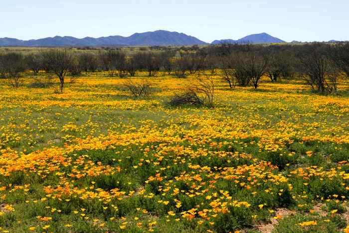 Mexican-poppy--fields