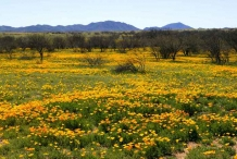Mexican-poppy--fields