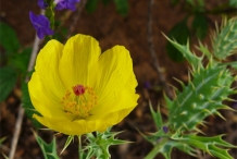 Mexican-poppy-close-up-flower