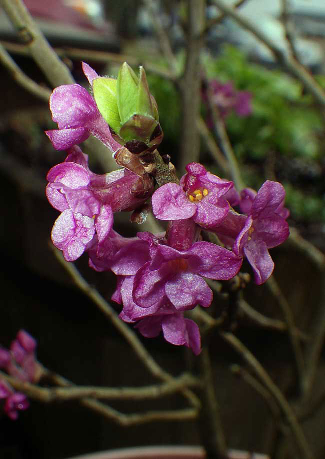 Closer-view-of-flower-of-Mezereon