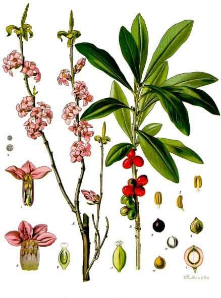 Plant-Illustration-of-Mezereon