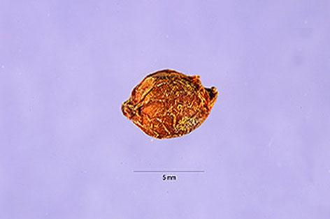 Seed-of-Mezereon