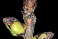 Winter-buds-of-Mezereon