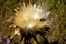 Milk-Thistle-Achenes