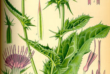 Milk-Thistle-plant-Illustration
