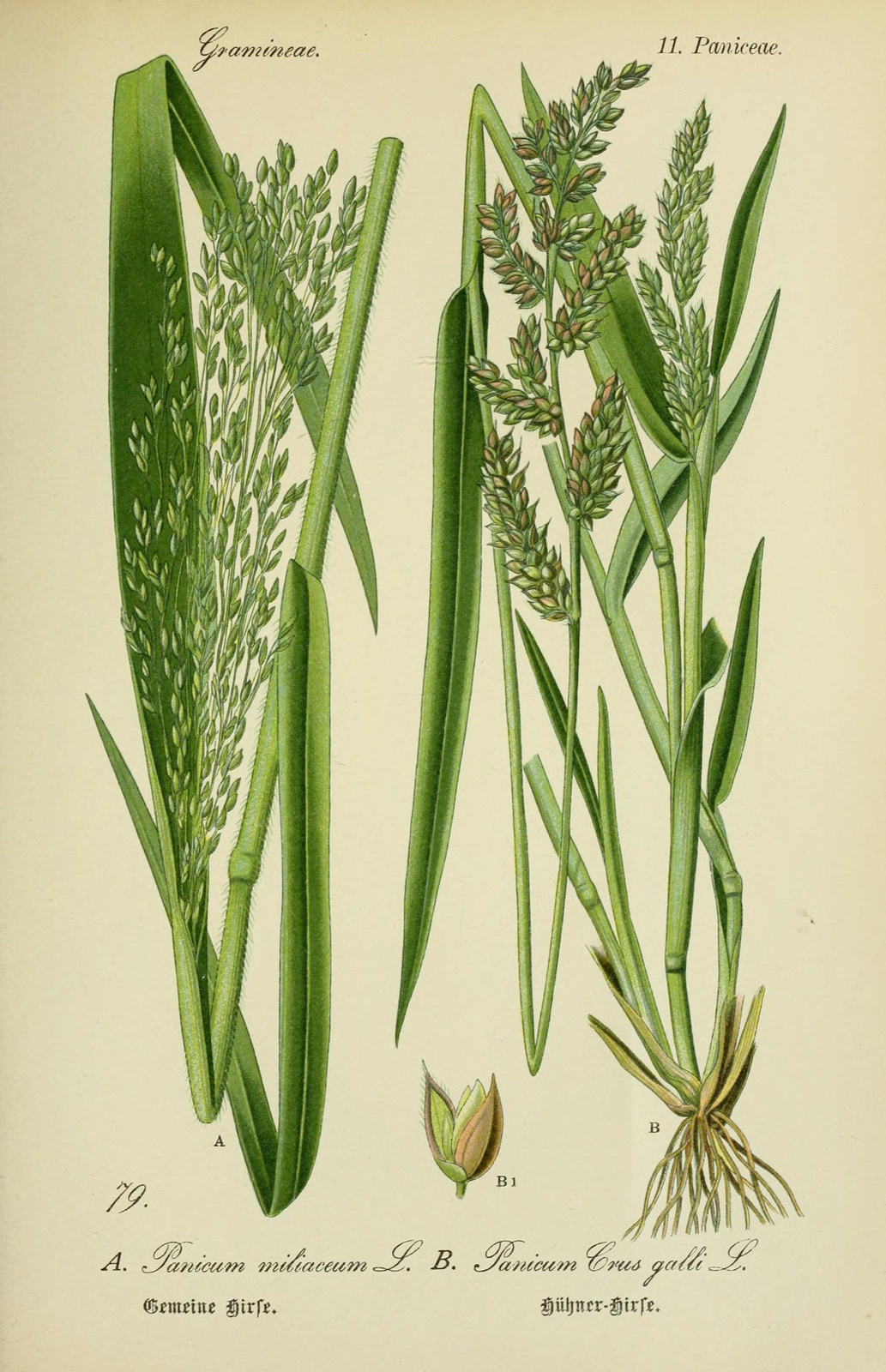 Millet-plant-illustration