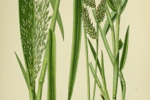 Millet-plant-illustration