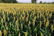 Millet-farm