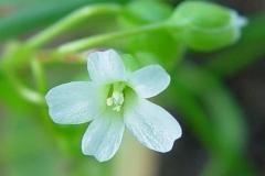 Miners-lettuce-flower